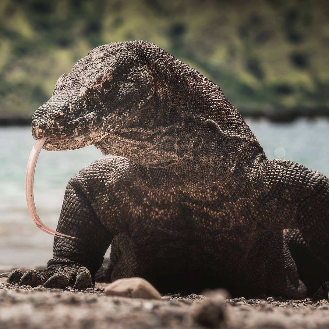 Komodo di Pulau Komodo, Images From @danielkordan