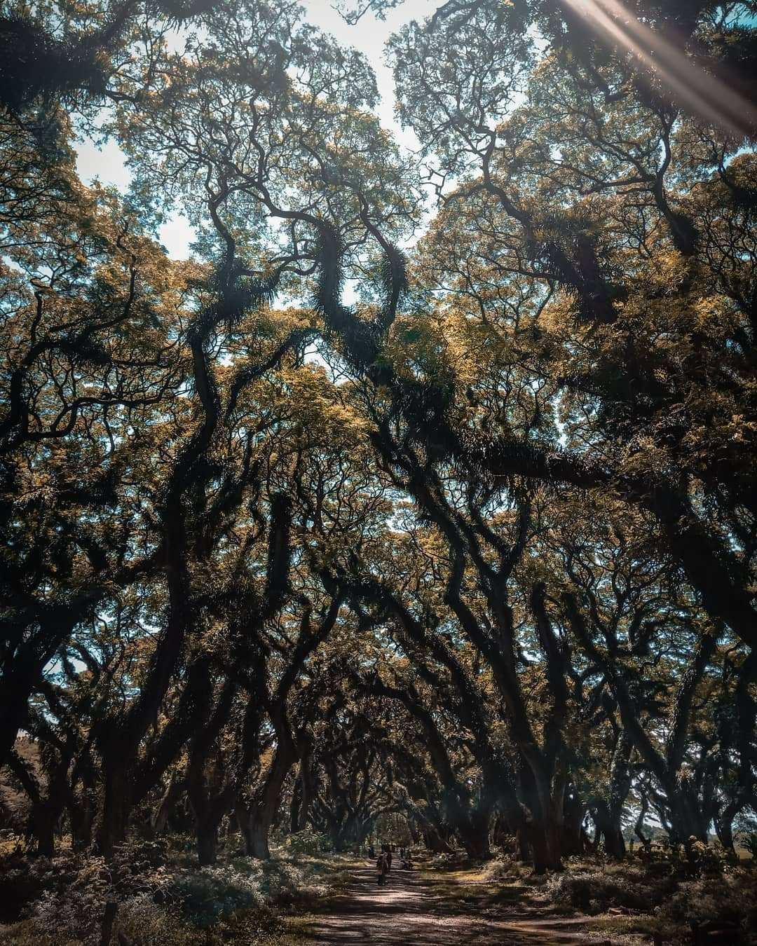 Rimbunnya Pohon Trembes di De Djawatan, Images From @muchamadsyamsudin