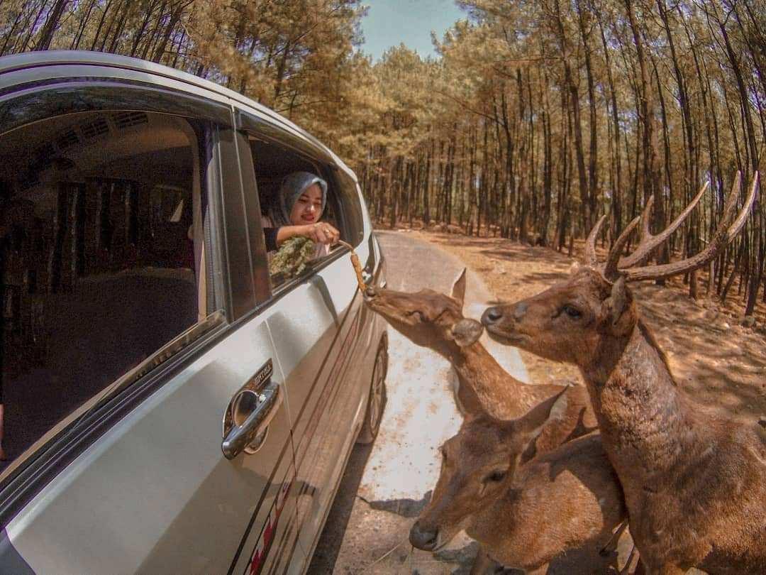Memberi Makan Rusa di Taman Safari Prigen, Image From @nouvhyatri