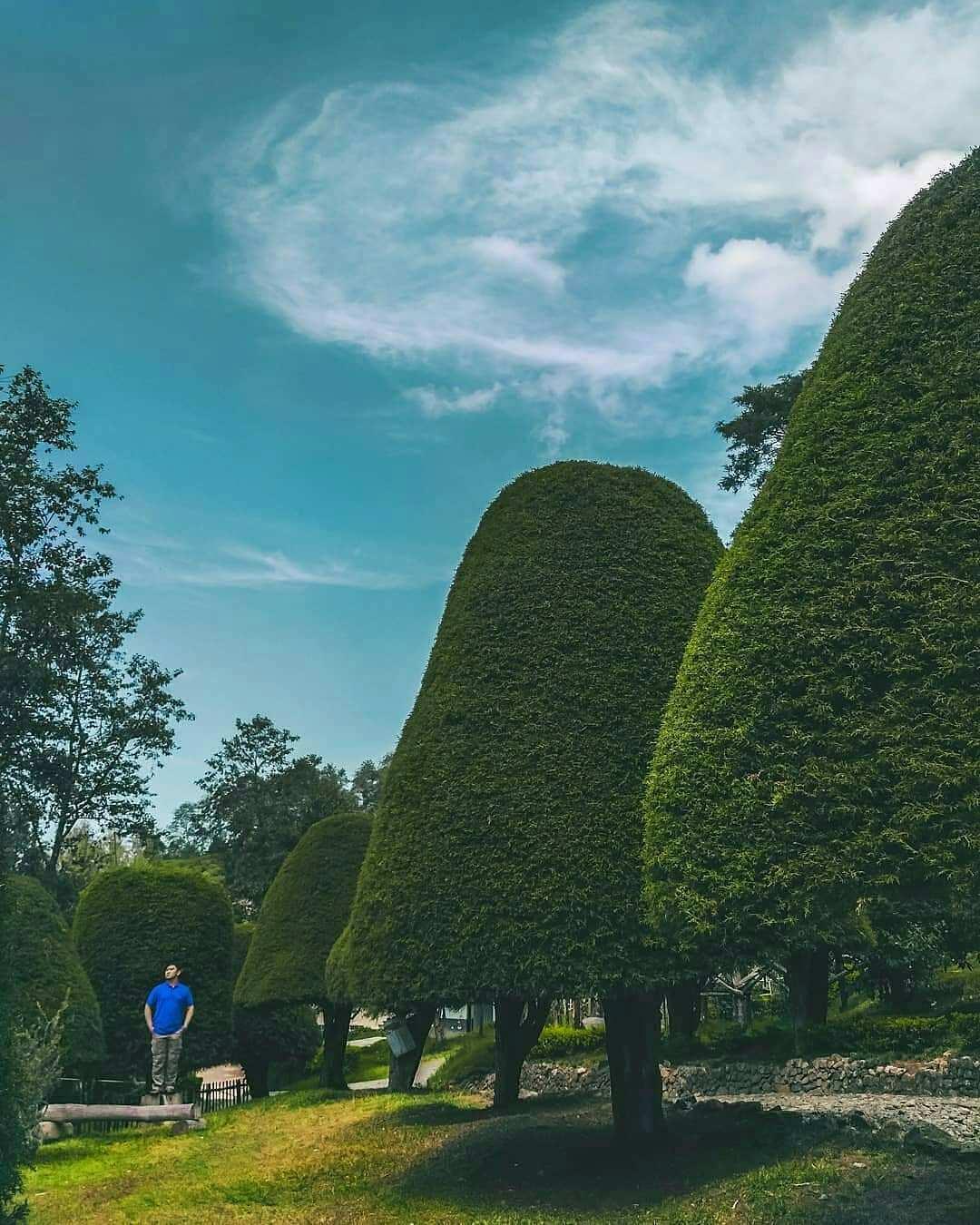 Pohon Berbentuk Jamur Payung di Bukit Jamur Rancabolang Ciwidey Bandung, Image From @why_ajie
