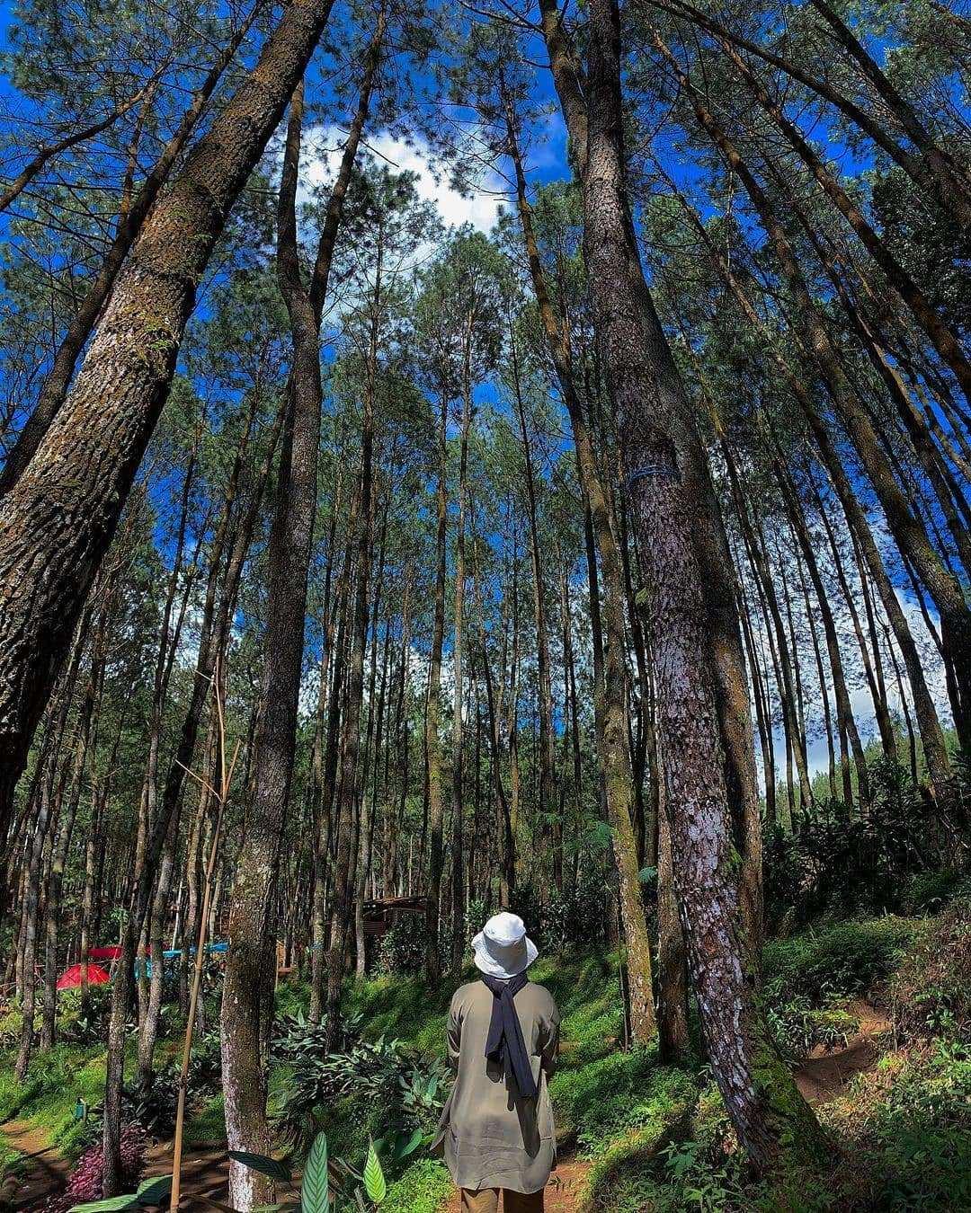 Hutan Pinus Di Kampung Singkur Bandung Image From @egiayulestarii