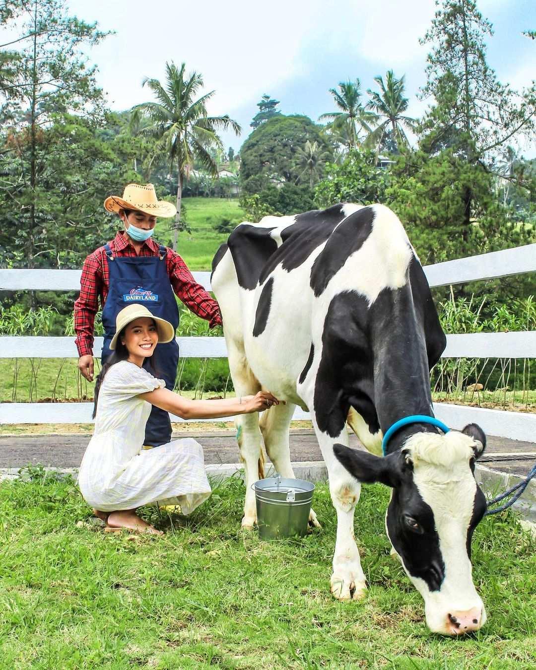 Memeras Susu Sapi Di Cimory Dairyland Puncak Bogor Image From @cimorydairyland Puncak